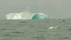 Two whales breaching in choppy arctic waters with iceberg behind - stock footage