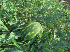 The growing water-melon in the field - stock photo