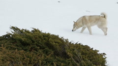 Husky in the mountain Stock Footage