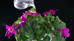 Time-lapse of house plant pink cyclamen reviving after irrigation water. Stock Footage