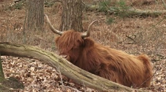 Scottish highland cattle, ruminant cow in forest - medium shot Stock Footage