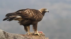 Golden eagle - stock footage