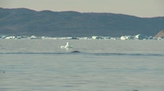 Whale breaching in silky smooth Arctic waters Stock Footage