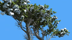 Monterey Cypress Snow on a Curved Tree Coniferous Evergreen Tree is Swaying at Stock Footage