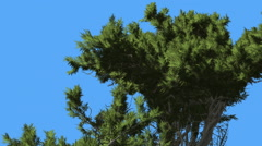 Monterey Cypress Top of Coniferous Evergreen Tree Creen Crown is Swaying at The Stock Footage