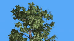 Sample Conifer Crown Of Pinophyta Coniferous Evergreen Tree Top of the Tree is - stock footage