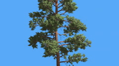 Scots Pine Thin Tree Trunk and Branches Coniferous Evergreen Tree is Swaying at Stock Footage