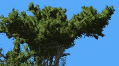 Monterey Cypress Fluttering Scale-Like Leaves Green Crown Coniferous Evergreen Stock Footage