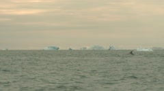 Three whales breaching in choppy arctic waters with icebergs far behind - stock footage
