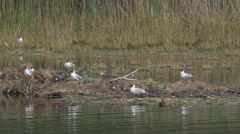 Black-headed Gull Nesting Site Stock Footage