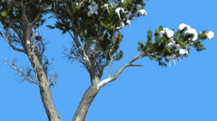 Monterey Cypress Doubled Trunk And Snow Coniferous Evergreen Tree is Swaying at Stock Footage