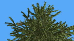 Monkey Puzzle Top of Tree Cones Coniferous Evergreen Tree is Swaying at The Stock Footage