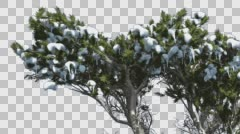 Monterey Cypress Melting Snow on a Top of Tree Coniferous Evergreen Tree is Stock Footage