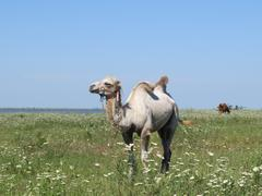 Camel on a pasture - stock photo
