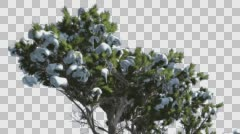 Monterey Cypress Snow on a Top of Tree Coniferous Evergreen Tree is Swaying at - stock footage