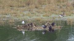 Black-headed Gull Breeding Quarters Stock Footage