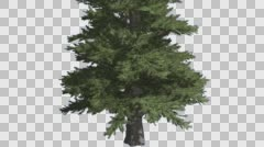 Norway Spruce Picea Abies Trunk and Branches Coniferous Evergreen Tree is Stock Footage