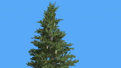 Norway Spruce Top of Tree Branches and Cones Picea Abies Coniferous Evergreen Stock Footage