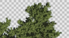 Monterey Cypress Crown Top Down Coniferous Evergreen Tree is Swaying at The - stock footage
