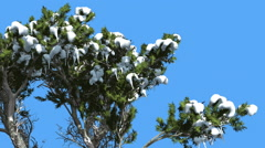 Monterey Cypress Melting Snow on a Crown Coniferous Evergreen Tree is Swaying Stock Footage