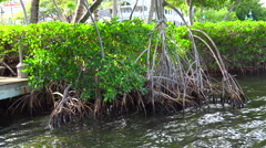 Flooded roots of mangrove trees. Florida Keys Stock Footage