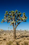 Close Up of Joshua Tree on Clear Day Stock Photos
