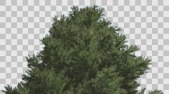 Norway Spruce Picea Abies Top of Tree Coniferous Evergreen Tree is Swaying at Stock Footage