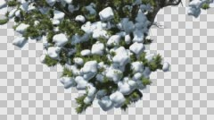 Monterey Cypress Crown Under Snow Winter Coniferous Evergreen Tree is Swaying Stock Footage