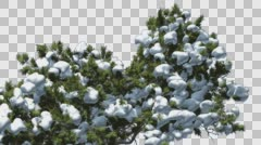Monterey Cypress Top of Crown Snow Coniferous Evergreen Tree is Swaying at The Stock Footage