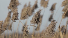 Dry grass swaying on the wind at sunset vintage warm colors Stock Footage