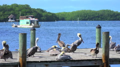 Pier with Brown pelicans. Florida Keys Stock Footage