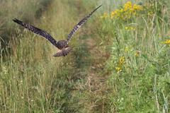 Owl flies low over the overgrown footpath Stock Photos