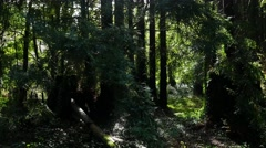Steadicam Coniferous forest after rain Stock Footage