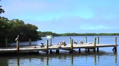 Pier with Brown pelicans. Florida Keys Stock Footage