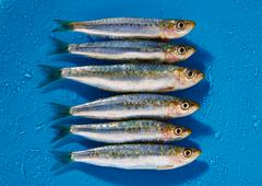 Sardine fishes in a row on blue wet background - stock photo