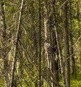 hazel grouse siting on dry wood trunk - stock photo