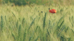 Single poppy flower in a green wheat field - stock footage