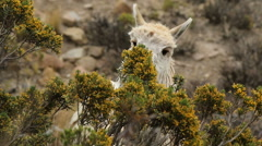 Llama feeding on a bush near the Colca Canyon Stock Footage