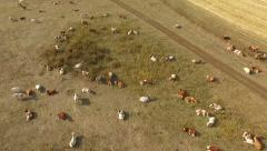 A herd of cows on pasture Stock Footage