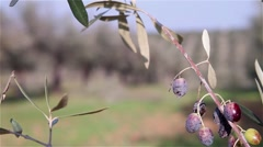 olive branch with unfocused field of olive trees in the background - stock footage