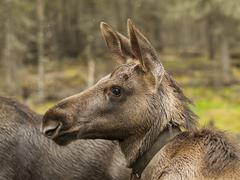 young moose  prick up his ears - stock photo