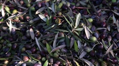 Shadow of worker separating olives from leaves Stock Footage