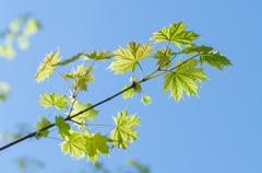 Fresh maple leaves on spring sunny day - stock photo