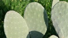 Cactus species, Opuntia cactus indica Stock Footage