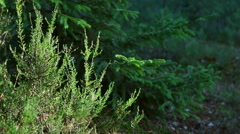 In summer forest heather and pine branches swaying in the wind. Stock Footage