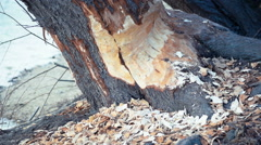 The Beaver has gnawed a tree - super close up - stock footage