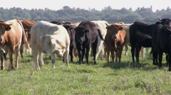 Herd of cows grazing in Alentejo, Portugal Stock Footage