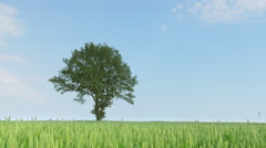 Dolly shot of a green wheat field with a oak-tree Stock Footage