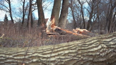 Beavers have gnawed through a tree Stock Footage