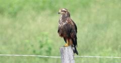 4K Gaviao Fumaca Brazilian Bird. Pantanal, Wetlands, Mato Grosso, Brazil. Stock Footage